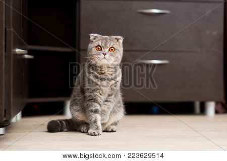 Scottish Fold cat sitting on the floor with an inquisitive look
