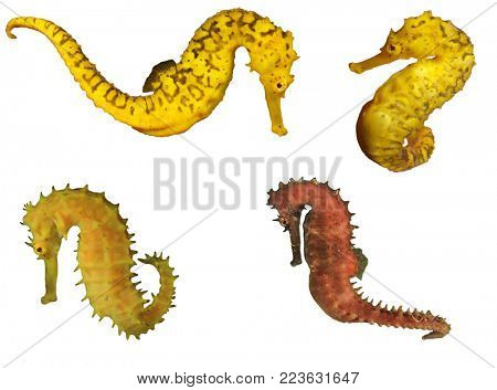 Seahorses isolated. Tigertail and Thorny Seahorse isolated on white background