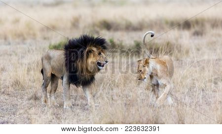 Adult lion and lioness in the Masai Mara. The male is known as Scar or Scarface, due to damage around one eye, and he is the dominat male in the pride