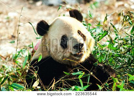 Giant Panda close-up. Panda eating shoots of bamboo