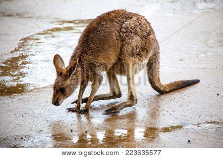 A large female kangaroo. Australia national park.