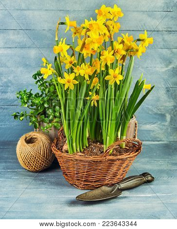 Spring flower narcissus with garden inventory on wooden board.