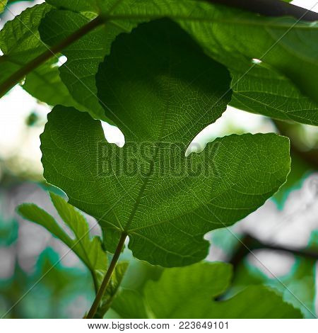 Nature background, green leaves in natural light and shadow, symbolic of peaceful and safe the Earth or life or Zen with toned color and selective focus. Close up view.