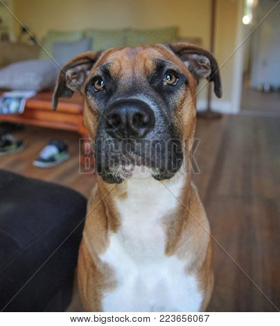 pit bull terrier boxer mix sitting in a living room looking at the camera, shot in low light conditions