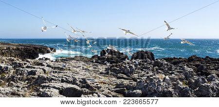 Seagulls flying over the rocky and steep rugged coastline near Cascais, Portugal
