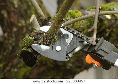 gardener pruning old fruit tree with pruning shears