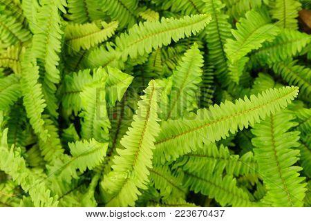 Sword or fishbone fern leaf fresh green background and detail texture.