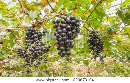 Black grapes in grape garden or vineyard. Black grapes with green leaf. Black grape vineyard in sunshine day. Ripe black grape for health or diet wide view