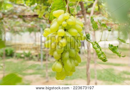 Green grapes in grape garden or vineyard. Green grapes with green leaf. Green grape vineyard in sunshine day. Ripe green grape for health or diet center or frame