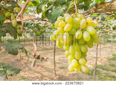 Green grapes in grape garden or vineyard. Green grapes with green leaf. Green grape vineyard in sunshine day. Ripe green grape for health or diet right position