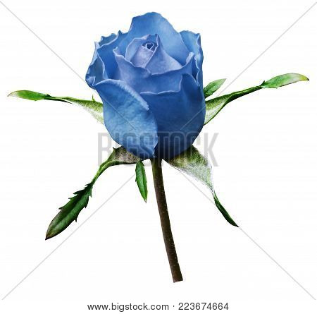 Shot of a   blue rose flower on a white isolated background with clipping path. Close-up. For design. Nature.