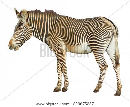 Grevy's Zebra isolated on white background