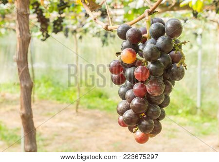 Red grapes in grape garden or vineyard. Red grapes with green leaf. Red grape vineyard in sunshine day. Ripe red grape for health or diet right position