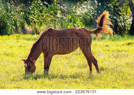 Young brown horse walking tricky in the lawn.