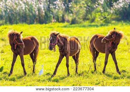 Three brown baby horses in the lawn.