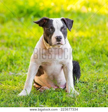 Black and White Bulldog puppies walking in the garden