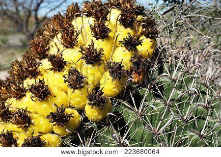 Blooming yellow cactus in arid Arizona desert on sunny day