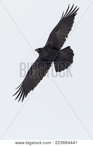 portrait flying isolated northern raven (corvus corax) spread wings, white background