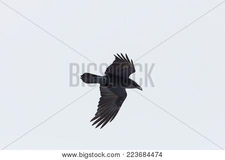 portrait of natural northern raven (Corvus corax) in flight