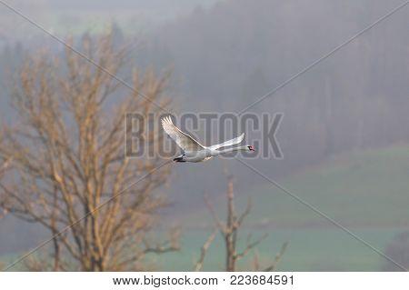 natural flying mute swan (cygnus olor) leafless tree