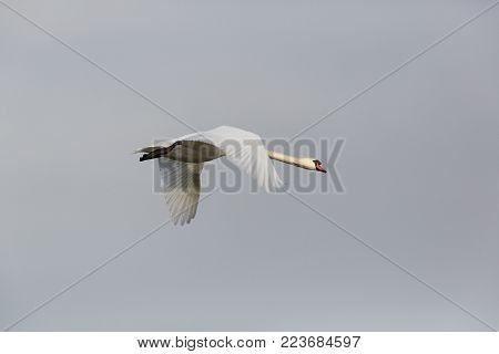 one isolated natural mute swan bird (cygnus olor) in flight with spread wings
