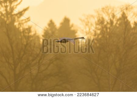 one natural mute swan (cygnus olor) in flight, forest, morning light