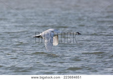one natural mute swan bird (cygnus olor)  in flight over blue water surface