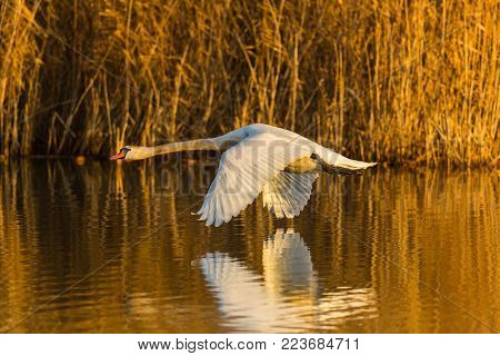 flying natural mute swan (cygnus olor), reflected on water, reed, morning sun