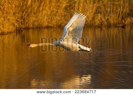 flying natural mute swan bird (cygnus olor), water surface, reed belt, morning sun