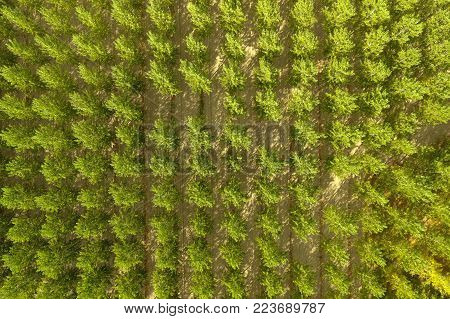 Aerial view of a poplar tree cultivation