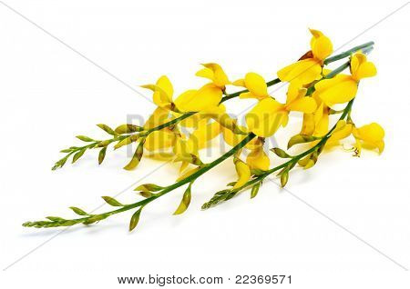 spanish broom flowers on a white background poster