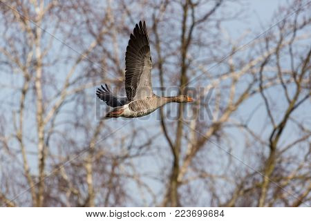 portrait natural gray goose (anser anser) flying in forest, spread wings