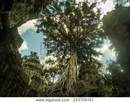 Giant banyan tree covering Ta Prom and Angkor Wat temple, Siem Reap, Cambodia Asia