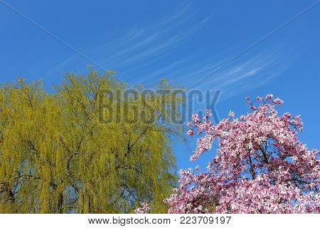 Spring trees blooming. Bright willow and sakura flowers on the blue spring sky of Botanical Garden and unusual form a small clouds.