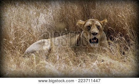 Lion female resting in the African sabana