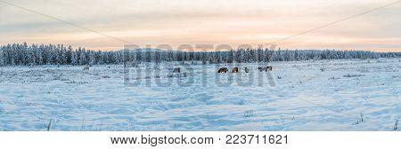 beautiful brown and white horses walking in snow at sunset, jakutia