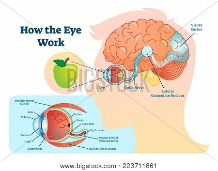 How eye work medical vector photo free trial bigstock how eye work medical illustration eye brain diagram eye structure and connection with ccuart Gallery