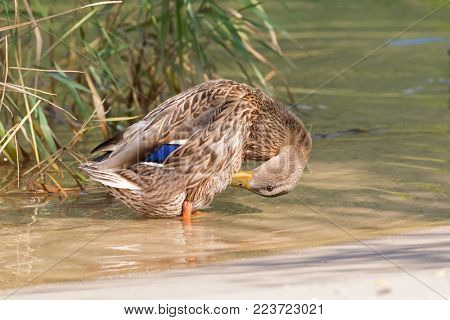 Female mallard preening, mottled wild duck, with brown speckled plumage standing in crystal clear lake water of Achensee, Achen Lake during Autumn in Tyrol, Austria, Europe