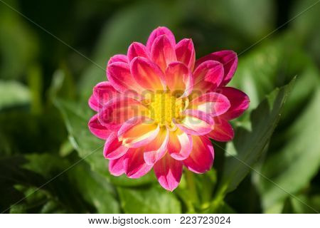 Home grown Dahlia flower in bright pink rays with yellow disc florets blooming in the garden