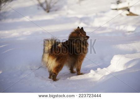 German Spitz at sunset in the winter on snow background