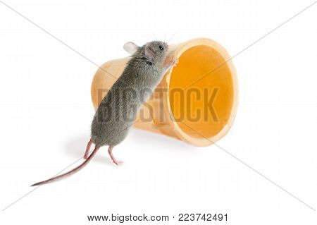 closeup the field mouse (Apodemus agrarius) pushes  wafer cone on white background