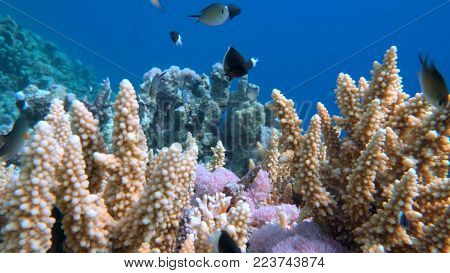 Staghorn coral, Acropora pulchra, with tropical fish underwater in the Red sea.
