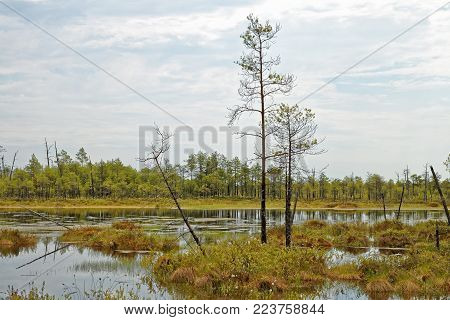A patch of impassable swamps in Western Siberia. Hot summer day in the taiga zone