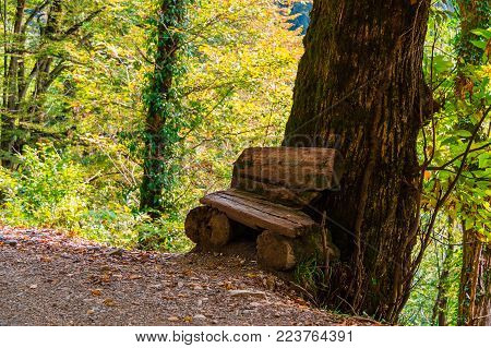 A rough bench near the big trunk of a tree growing on a cliff in sunny autumn day, Sochi, Russia