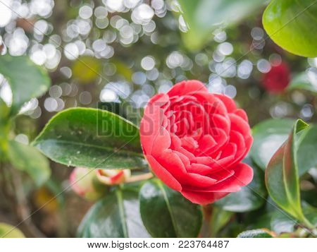 Closeup view of a beautiful tender pink camellia japonica (japanese camellia) flower in the garden against soft-focused background.