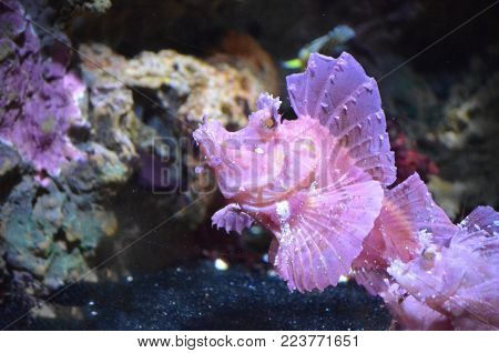 Under water look at a rare pink rhinopias fish.
