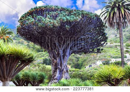 landmarks of Tenerife - famous Dragon tree in Icod de los Vinos, Canary island