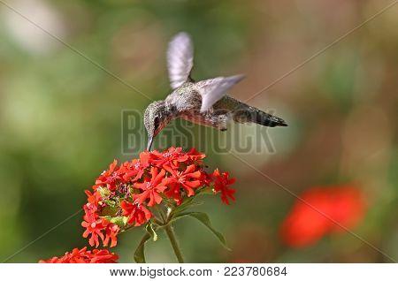 Annas Hummingbird in flight, feeding on Maltese Cross flowers