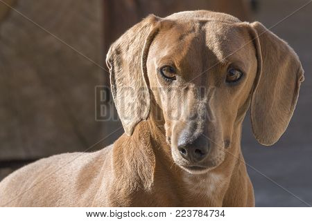 Portrait Of The Tender Look Of A Sweet Dachshund