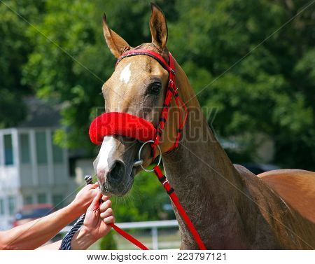 Beautiful akhal-teke horse getting ready for an endurance race.